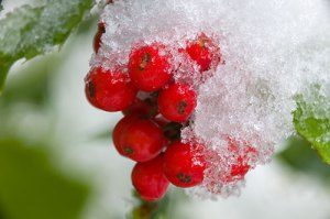 snow-english-holly